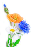 Poppy flowers  and cornflower isolated Stock Photo