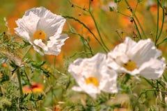 Poppy Flowers espinhosa branca imagens de stock