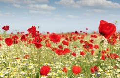 Poppy flowers field Royalty Free Stock Image