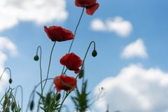 Poppy flowers on the field against the blue sky and green grass. Selective focus. Close bright love natural summer day fresh pink color plant season wild royalty free stock image