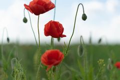 Poppy flowers on the field against the blue sky and green grass. Selective focus. Close bright love natural summer day fresh pink color plant season wild stock image