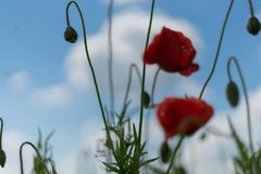 Poppy flowers on the field against the blue sky and green grass. Selective focus. Close bright love natural summer day fresh pink color plant season wild stock images