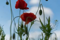 Poppy flowers on the field against the blue sky and green grass. Selective focus. Close bright love natural summer day fresh pink color plant season wild royalty free stock photo