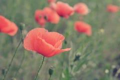 Poppy Flowers Stock Image