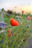 Poppy Flowers Royalty Free Stock Image