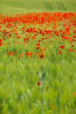 Poppy flowers in the field. Of cereals. Tuscany in the spring Royalty Free Stock Image
