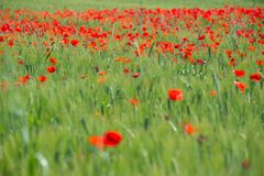 Poppy flowers in the field. Of cereals. Tuscany in the spring Stock Photos