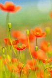 Poppy Stock Photography