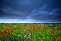 Poppy flowers field and dark sky Stock Photo