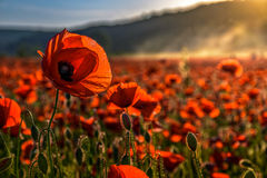 Poppy flowers field in foggy mountains. Beautiful summer landscape at sunset Royalty Free Stock Photo