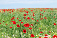 Poppy flowers field landscape Stock Photo