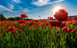 Poppy flowers field in mountains. Beautiful summer landscape at sunset Royalty Free Stock Photo