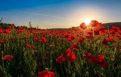Poppy flowers field in mountains. Beautiful summer landscape at sunset Royalty Free Stock Photos
