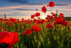 Poppy flowers field in mountains. Beautiful summer landscape at sunset Royalty Free Stock Images