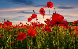 Poppy flowers field in mountains. Beautiful summer landscape at sunset stock photography