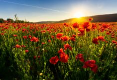Poppy flowers field in mountains. Beautiful summer landscape at sunset Royalty Free Stock Image