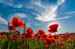 Poppy flowers field in mountains. Poppy flowers field under the blue sky with clouds. beautiful summer landscape at sunset Stock Photography