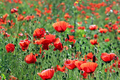Poppy  flowers field Royalty Free Stock Photography