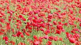 Poppy flowers field stock video footage