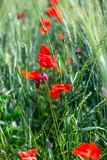 Poppy flowers in the field. Of cereals. Tuscany in the spring Royalty Free Stock Images
