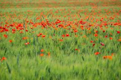 Poppy flowers in the field. Of cereals. Tuscany in the spring Royalty Free Stock Photo