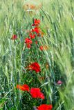 Poppy flowers in the field. Of cereals. Tuscany in the spring Stock Images