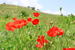 Poppy Flowers in the Field. Red blooming poppy flowers growing in the field with green grass Royalty Free Stock Photos
