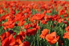 Poppy flowers field Stock Photography