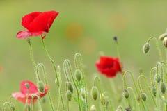 Poppy flowers on field Stock Image