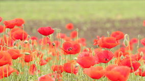 Poppy flowers stock video footage