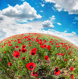 Poppy flowers field Royalty Free Stock Photography