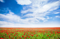 Poppy flowers field. Poppy flowers on the field at spring time in Kazakhstan, central Asia Stock Photo
