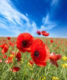 Poppy flowers field Stock Photo