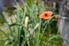 Poppy flowers field, summer beautiful landscape. Orange Poppy flowers field, summer beautiful landscape Royalty Free Stock Photography