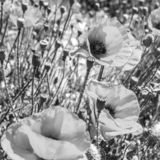 Poppy flowers field in summer, black and white image. Selective focus stock photography