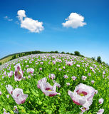 Poppy flowers in the field. Royalty Free Stock Photos