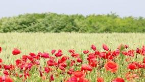 Poppy flowers field summer season stock video footage