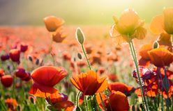Poppy flowers on the field in sunlight. Beautiful summer nature background stock photography