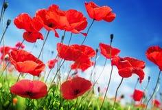 Poppy flowers on field Royalty Free Stock Photos