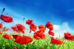 Poppy flowers on field Royalty Free Stock Image