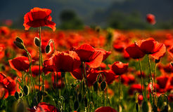 Poppy flowers field at sunset. Poppy flowers field. beautiful summer background Stock Photography