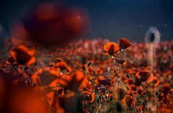 Poppy flowers field at sunset. Poppy flowers field. beautiful summer landscape at sunset Royalty Free Stock Photography