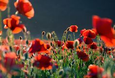 Poppy flowers field at sunset. Poppy flowers field bathing in the sunlight. beautiful summer background Stock Images