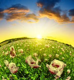 Poppy flowers in the field at sunset. Royalty Free Stock Images