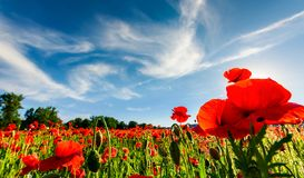 Poppy flowers field in mountains. Poppy flowers field under the blue sky with clouds. beautiful summer landscape at sunset Royalty Free Stock Photos