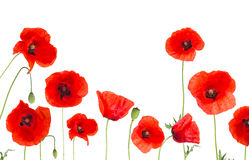 Poppy flowers field on white background Royalty Free Stock Photography