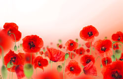 Poppy flowers field on white background Royalty Free Stock Photos