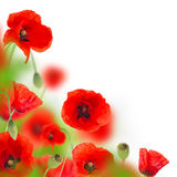 Poppy flowers field on white background Royalty Free Stock Image