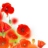Poppy flowers field on white background Stock Images