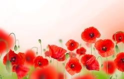 Poppy flowers field on white background Royalty Free Stock Photo